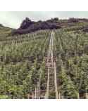 A Sense of Place: German Riesling